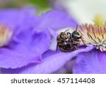 Small photo of Two beautiful bees mating on flower clematis. selective focus.