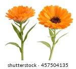 Calendula. Marigold Plant With...