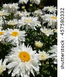 Small photo of Leucanthemum superbum 'Aglaia'