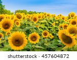 Sunflowers Field  Summer...