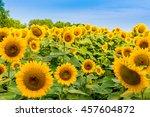 Sunflowers Field  Summer...