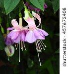 Fuchsia Flower In The Garden...