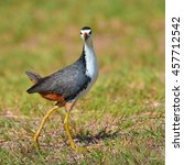Small photo of Beautiful bird, White-breasted Waterhen (Amaurornis phoenicurus) on green grass, taken from Thailand.