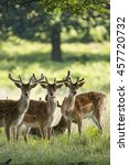 group of young fallow deer... | Shutterstock . vector #457720732