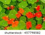 Beautiful Nasturtium Flowers...