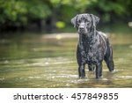Stock photo black labrador in river wales 457849855