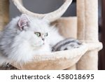 Stock photo close up of beautiful american shorthair cat sit and looking on wooden cat tower in cat farm 458018695