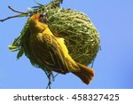 A Yellow Masked Weaver Clings...