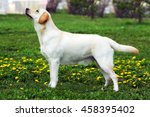 good family dog  the labrador... | Shutterstock . vector #458395402
