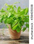salvia officinalis in ceramic... | Shutterstock . vector #458405038