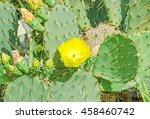 Yellow Flower Opuntia Humifusa  ...