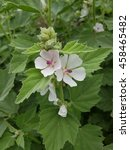 Small photo of Marshmallow; Althaea; officinalis