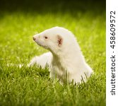 Small photo of Pretty albino ferret