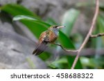Small photo of Amazilia hummingbird