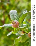 Small photo of Common medlar fruit (Mespilus) on tree. Copy space