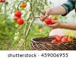 Woman's Hands Harvesting Fresh...