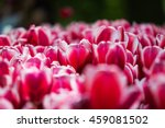 Blooming Tulips In Keukenhof ...
