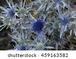 Small photo of Flower of the blue thistle amethyst eryngo (Eryngium amethystinum), a wild thistle in Italy.