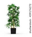 Dracaena Braunii Plants In...