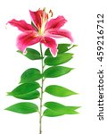 blooming pink lily isolated on... | Shutterstock . vector #459216712