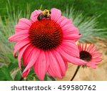 Bumble Bee On A Pink...