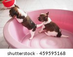 two puppy chihuahua playing | Shutterstock . vector #459595168