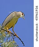 night heron on russian olive... | Shutterstock . vector #45961936