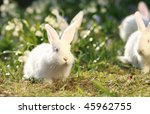 Stock photo group white albino rabbits on early spring meadow background snow white coney 45962755
