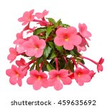 Small photo of Flowering plant collector achimenes, isolated on white background