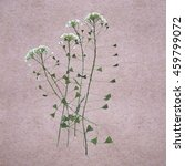 Small photo of Capsella, dried flowers