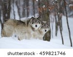 Two Timber Wolves  Canis Lupus...