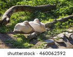 Two Pelican Sitting On A Log I...