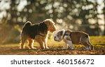 English Bulldog And Welsh...