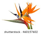 Stock photo beautiful bird of paradise flowers isolated in white background 460157602