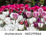 white and pink tulips | Shutterstock . vector #460199866