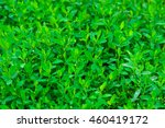 Small photo of Green knotgrass