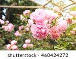 rose. rose in garden.rose.... | Shutterstock . vector #460424272