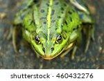 the pool frog  pelophylax... | Shutterstock . vector #460432276