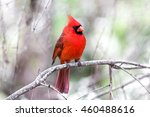Small photo of Cardinal facing front right