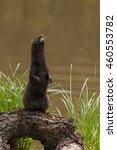 Small photo of Adult American Mink (Neovison vison) Sits Up on Log - captive animal
