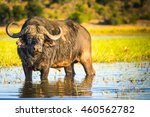 african buffalo or cape buffalo ... | Shutterstock . vector #460562782