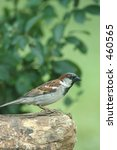 male house sparrow | Shutterstock . vector #460565