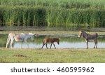 Three Donkeys Walking On...