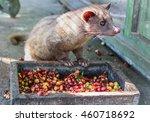 luwak  civet cat  eating coffee ... | Shutterstock . vector #460718692