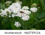 Small photo of Insect Strangalia attenuata (synonym Leptura attenuate) close-up on yarrow flowers. Selective focus, shallow depth of field