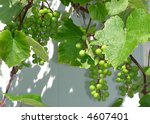 bunches of new grapes in garden at Latvia - stock photo