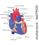 human heart vector | Shutterstock .eps vector #46079920