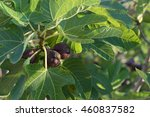 Fig Fruit Growing On A Branch...