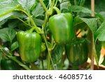 plant of growing green pepper | Shutterstock . vector #46085716