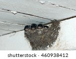 Baby Swallows In A Nest Under...